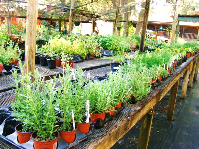 Herbs in the Shadehouse