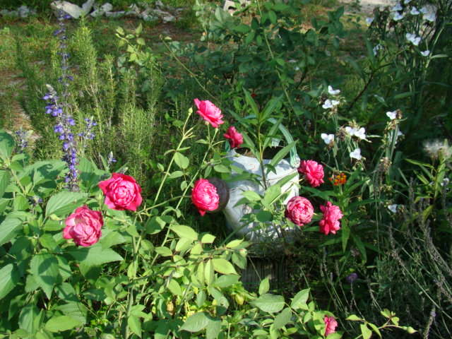 Roses, Rosemary, Spider wort, Midnight Blue Salvia